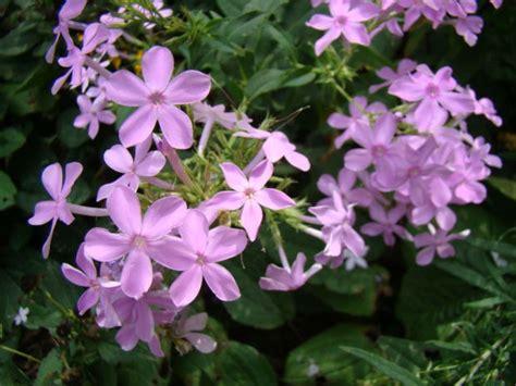 pictures of phlox flowers phlox flowers wallpaper 1024x768 23359