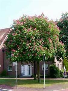 Glanzmispel Rote Blätter Fallen Ab : aesculus carnea 39 briotii 39 scharlach rosskastanie g nstig ~ Lizthompson.info Haus und Dekorationen