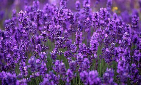 Hampshire Lavender by Shobby   Planting flowers, Lavender ...