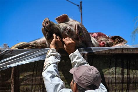 african swine flu epidemic hits europe daily star