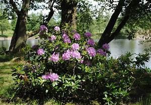 Pflanzen Für Schattige Plätze : rhododendron und azalee obi ratgeber ~ Orissabook.com Haus und Dekorationen