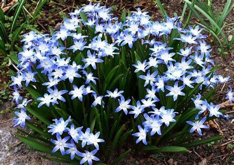 scilla szilla blaustern pflanzensteckbrief und pflege