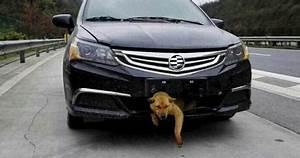Calandre De Voiture : percut par une voiture un chien survit et fait 400 km dans la calandre voir ~ Medecine-chirurgie-esthetiques.com Avis de Voitures