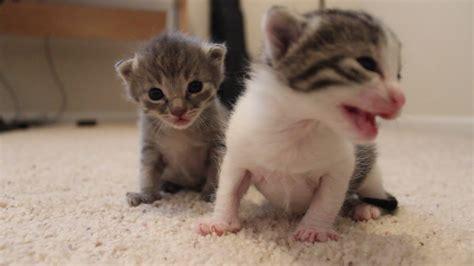 2 week kittens 2 weeks old kitten update youtube