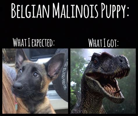 Belgian Malinois puppy: expectation vs. reality   Dobrador   Belgian Malinois, Dogs