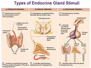 Endocrine System Review Guide Flashcards