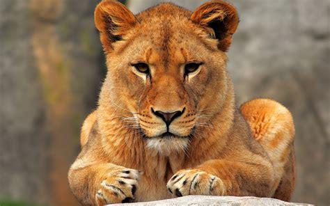 ladies  love    lioness badass hunter