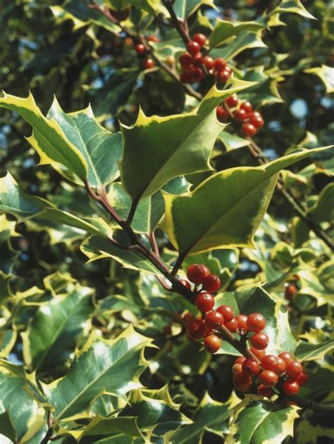 small evergreen shrub with berries 49 best shrubs w berries images on pinterest shrubs evergreen shrubs and shrub