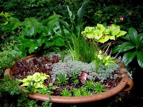plants gardening hosta itsy bitsy spider carolyn s shade gardens