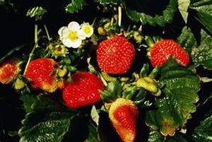 Faire Pousser Des Fraises : comment faire pousser des fraises en pots avec du pvc suspendus ~ Melissatoandfro.com Idées de Décoration