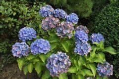 Welche Erde Für Hortensien : hortensien diese erde m gen sie am liebsten ~ Eleganceandgraceweddings.com Haus und Dekorationen