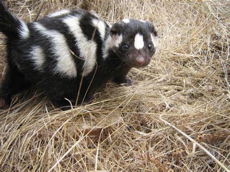 skunk spotted island skunks range state latin facts santa arkansas cruz animals nrs species magnoliareporter population