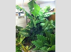 How To Store Elephant Ears and Other Tropical Bulbs