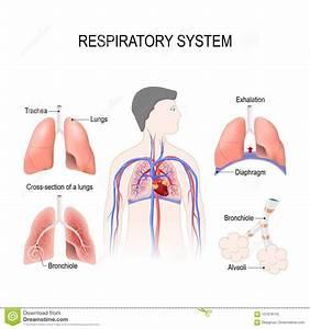 Respiratory System Stock Illustrations  U2013 2 912 Respiratory