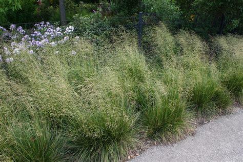 transplanting ornamental grass ornamental grasses 10 great ones for your sunny garden
