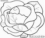 Cabbage Colouring Pages Coloring Picolour sketch template