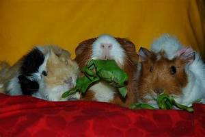 Everything You Need To Care For A Guinea Pig