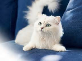 white cat white cats hd wallpapers beautiful pictures hd