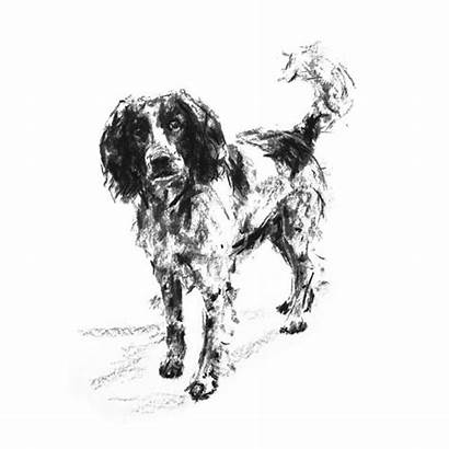 Springer Spaniel Eager Sketch Dog
