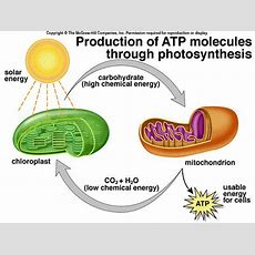 The Difference Between Chloroplast And Mitochondria Knowswhycom