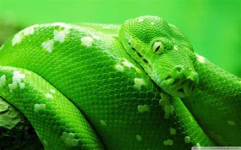 Green Boa Constrictor.