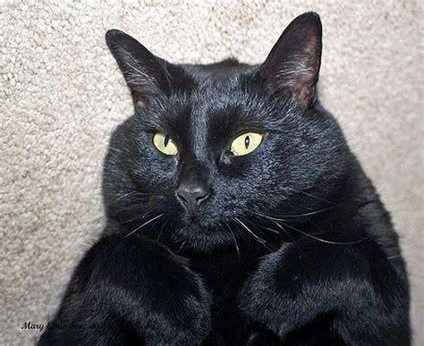 bombay cat fat  animals