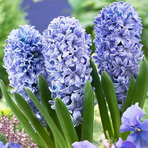 hyacinth prepared delft blue mirror garden