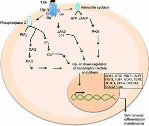 Image Gallery Thyrotropin Receptor
