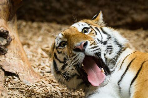 funny tiger  pic  samur  male amur tiger