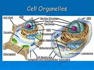 Diagram Of Cell And Organelles