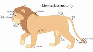 Lion Body Parts Gallery