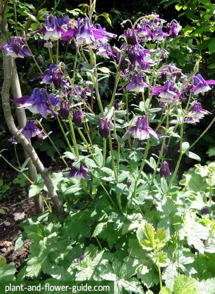 columbine plant columbine flower enjoy these delicate flowers in your garden