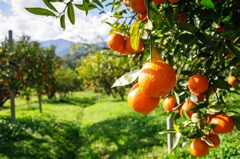 foodie guide  arance oranges italy magazine