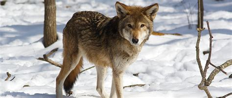 court orders injunction  harming killing red wolves