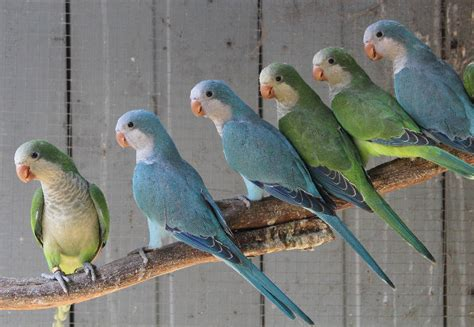 blue quaker parrot blue quaker parrots