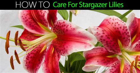 how do you care for bushes stargazer lily how to care for stargazer lilies