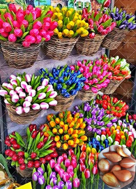 popular tulip plant buy cheap tulip plant lots from china