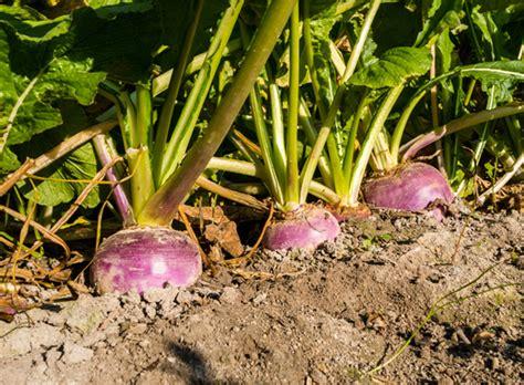 quand recolter les potirons quand semer des potirons 28 images les l 233 gumes perp 233 tuels les conseils de jardin de