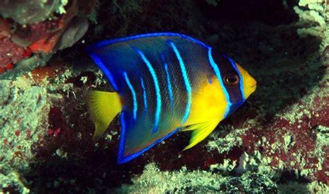 fish angelfish florida key west keys common aquarium most animals atlantic angel grouper waters