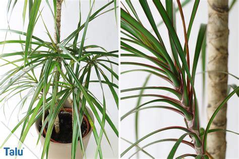 dracena marginata pflege drachenbaum dracaena marginata pflege der palme talu de