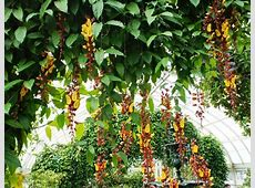 Photo of the entire plant of Clock Vine Thunbergia