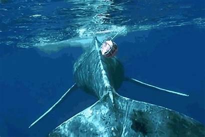 Whale Disentangle Gifs Disentanglement Noaa Humpback Marine