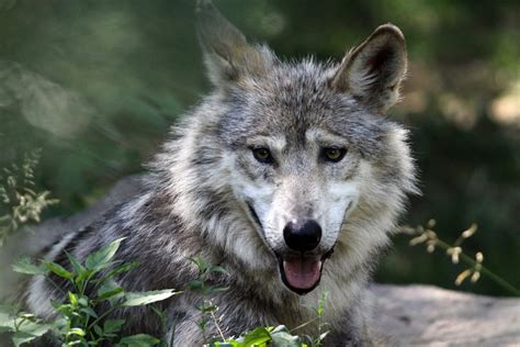 Wolf Woods Cincinnati Zoo And Botanical Garden