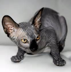 black sphynx cat black sphynx cat flickr photo