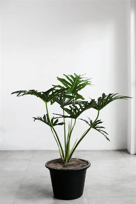 Selloum  Indoor Plants Philippines