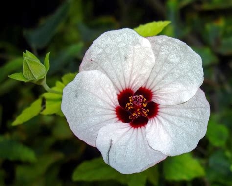 pavonia hastata  nombre comun malvavisco rosado