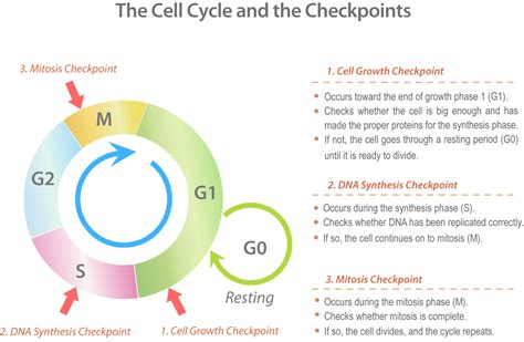 cells alive cell cycle worksheet ideas