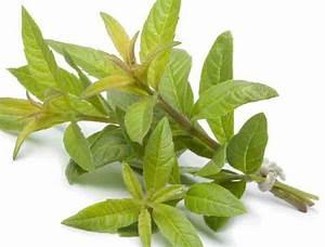 Verveine Plante Tisane : bienfaits de la verveine carabiens le forum ~ Mglfilm.com Idées de Décoration