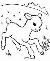 Lamb Coloring Sheep Baby Little Pages Running Meadow Outline Aroung Drawing Template Sheet Printable Getdrawings Sheeps Called Alpha Male Cute sketch template