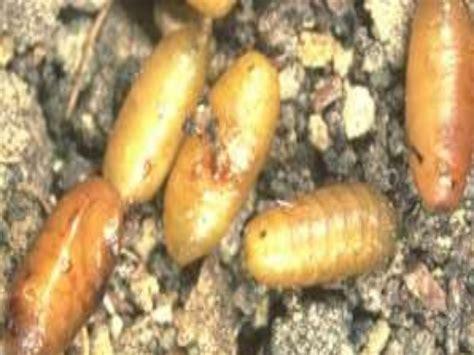 https://es.slideshare.net/ecoagricultura/dacus-oleae